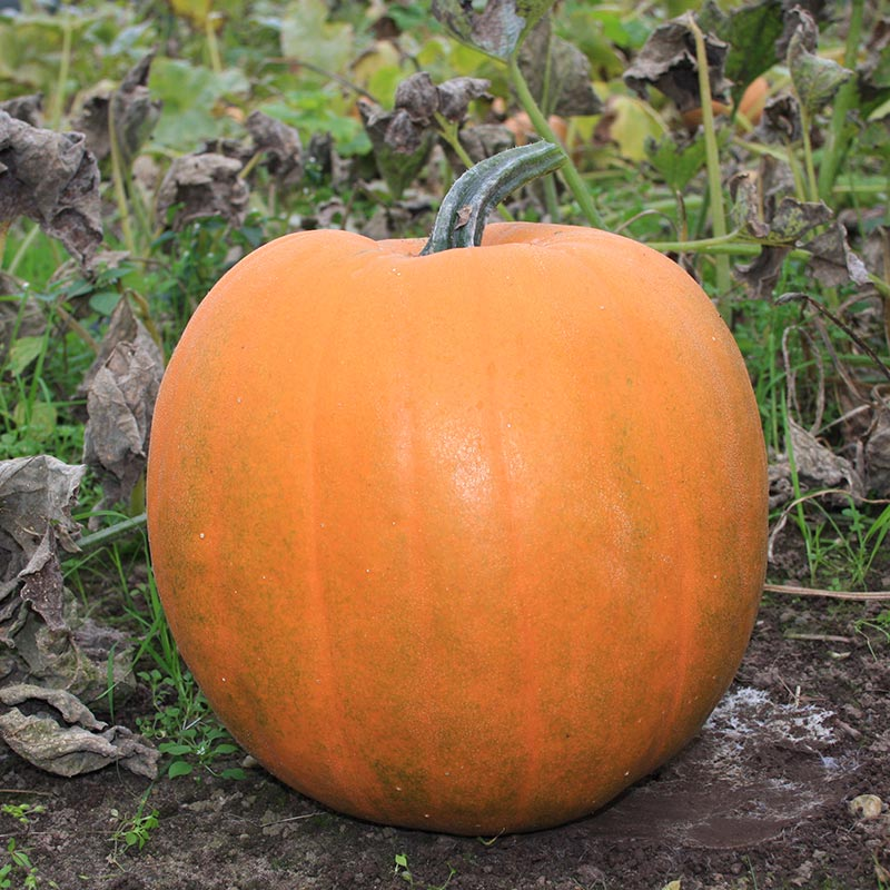 Pompoen Halloween.Halloween Pumpkin Jack O Lantern Cucurbita Pepo De