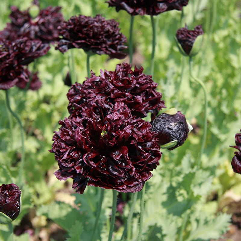 Papaver Black Paeony